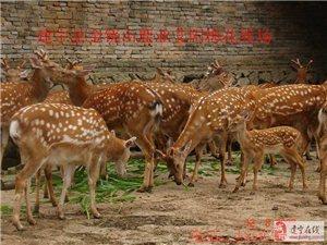 元月14號在建寧縣伊家現殺一頭梅花鹿