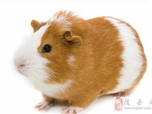 荷兰猪找个女朋友