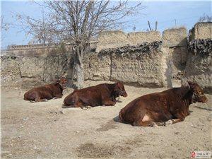 出售優質肉牛