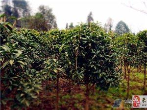大量桂花树银杏树树苗出售,量大从优