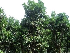 湖南益阳香泡树-再生18公分20公分香泡树