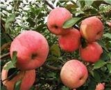 出售山西苹果苗木苹果苗价格