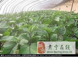 免费提供温室茄子西红柿种植技术回收高品质蔬菜