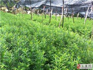 出售红豆杉苗