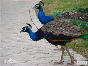 黑鳳雞、孔雀、鴛鴦大型養殖場