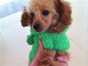 (转让)转让红棕泰迪犬身体健康无病例