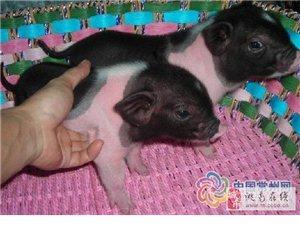 出售巴馬香豬