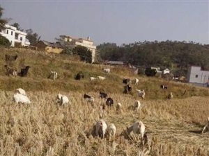龙川种羊出售