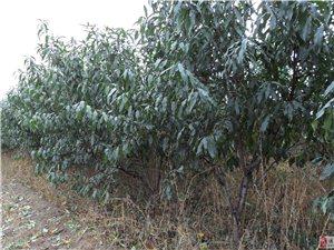 供应8公分占地桃树、梨树、苹果树、杏树