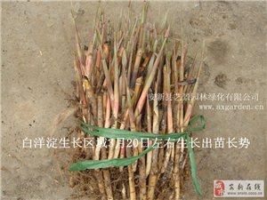 销售2015年度白洋淀芦苇苗