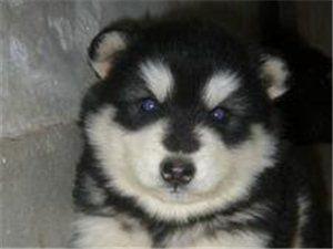 阜南犬舍出售阿拉斯加幼犬藏獒幼犬拉布拉多幼犬