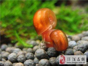 洋浦水族玩家出售苹果螺和豹纹螺