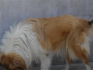 (转让)苏格兰牧羊犬