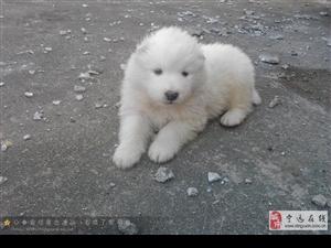 宁远县多多宠物店出售2个月萨摩耶