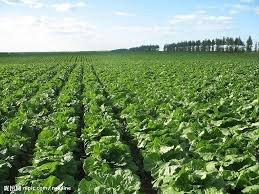 供应基地土豆白菜