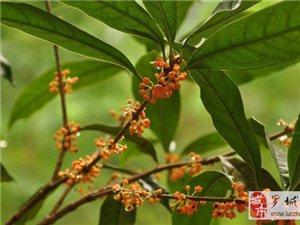 李家村長青珍惜苗木基地出售紅豆杉、丹桂等珍稀苗木