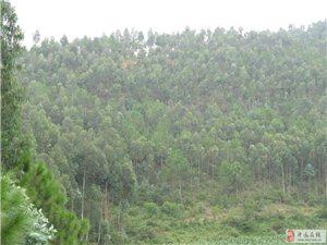 现有大批桉树出售有意者联系