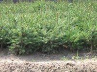 出售樟子松.红松,云杉,落叶松,黑松,冷杉