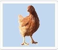 出售北京峪口、河北大午青年鸡。厂家直销山西晋龙饲料
