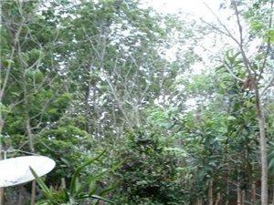 种植了三�年多的花梨木树苗大发快3