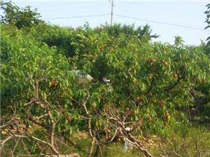 农家乐土鸡欢迎您 摘桃儿 杏儿比赛!