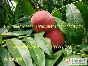 早熟超大含糖量极高的鲁红618桃苗价格产地山东邹城