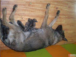 出售昆明犬,狼青,贝贝!13935918211