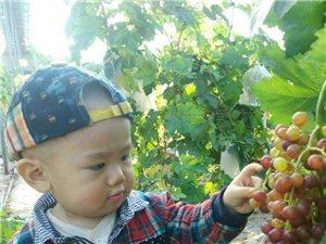 串串葡萄挂满枝   采摘葡萄正当时j金藤碧树浮