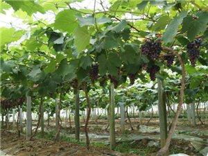 金牛湖金山葡萄