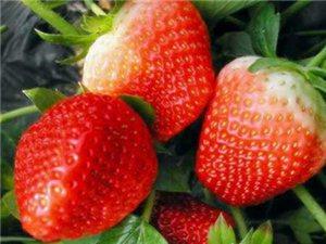 凯里虎庄草莓